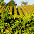 Fresh Green Vines - Stock Photo