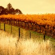 Orange Vineyard — Stock Photo