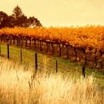 Orange Vineyard — Stock Photo #10108534