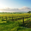Vineyard Sunrise — Stock Photo #10108698