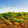 Early Morning Vineyard - Stock Photo