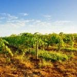 Early Morning Vineyard — Stock Photo
