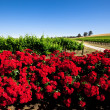 Red Flower Vineyard — Stock Photo #10109006