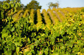 Fresh Green Vines — Stock Photo