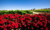 Red Flower Vineyard — Stock Photo