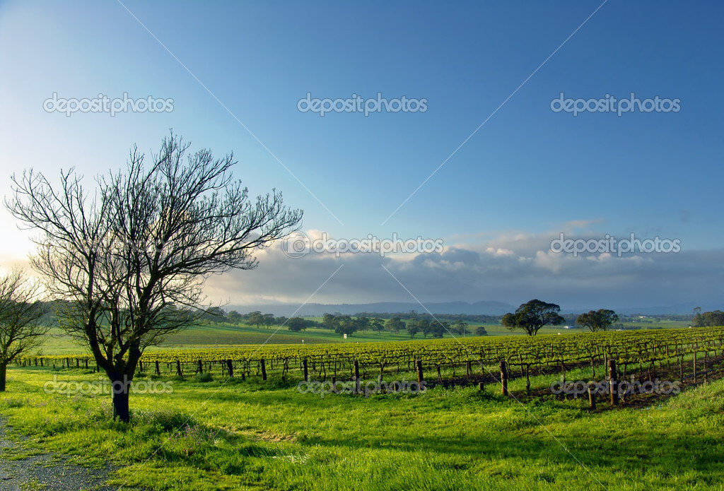 Fresh Spring Vineyard — Stock Photo #10108681