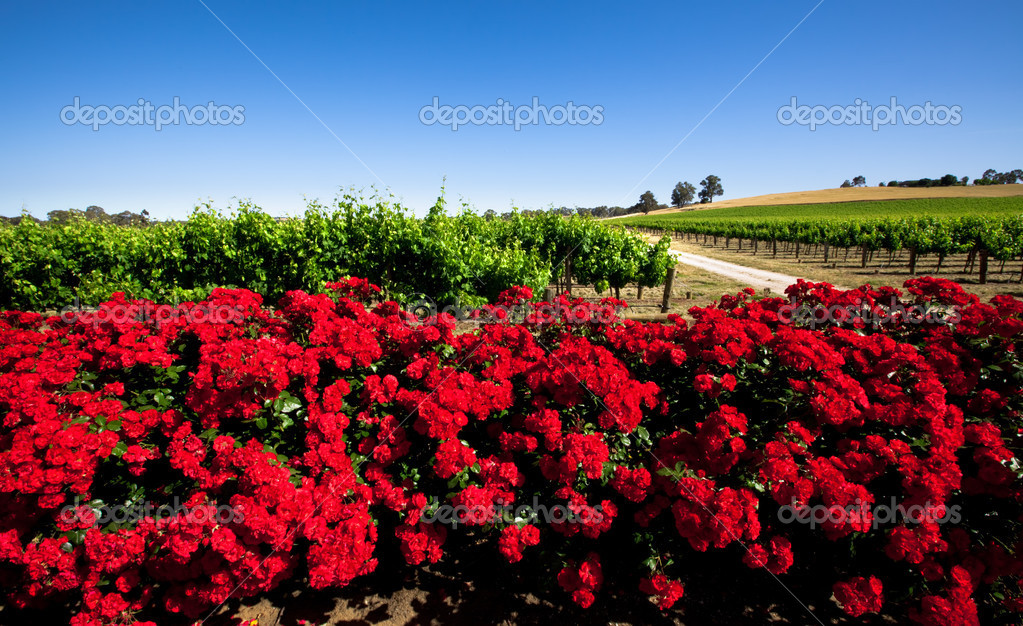 Colorful Vineyard in the Barossa Valley, South Australia — Stock Photo #10109006