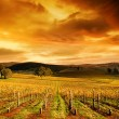 Stock Photo: Stunning Vineyard