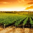 Sunset Vineyard Panorama - Stock Photo