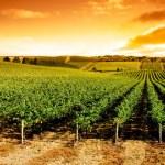 Sunset Vineyard Panorama — Stock Photo