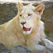 Beautiful white young lion in zoo captivity — Stock Photo