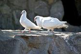 A white dove — Stock Photo