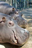 Pictures of the heads of the two sleeping hippos — Stock Photo