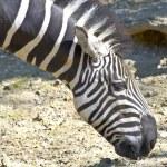 Zebra grazing — Stock Photo