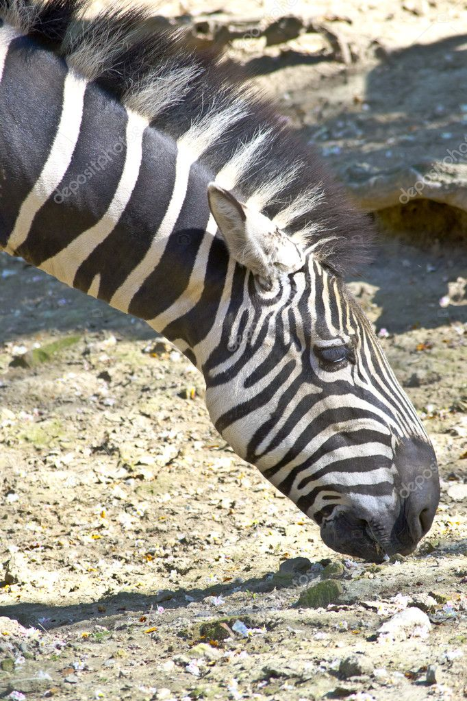 Zebra grazing — Stock Photo #10427622