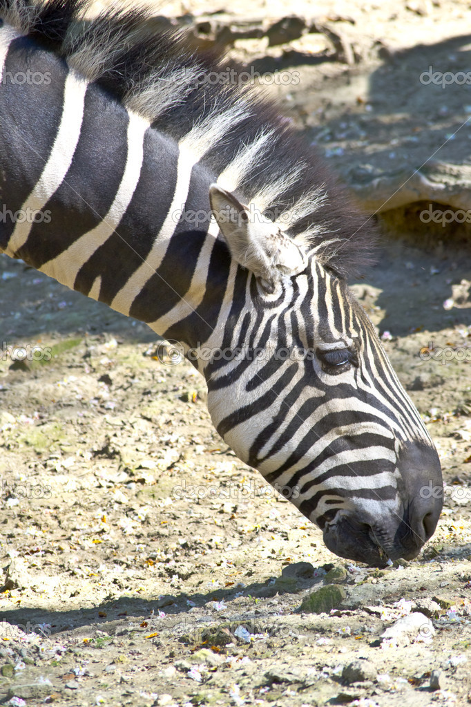 Zebra grazing   #10427622