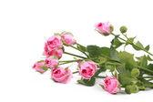некоторые розы — Стоковое фото