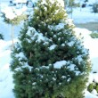 Thuja in snow — Stock Photo