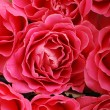 Pink roses background — Stock Photo #8620126