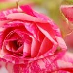 Rose background — Stock Photo #9108691