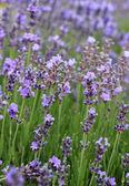 Open lavender flowers — Stock Photo