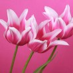Three violet tulips — Stock Photo