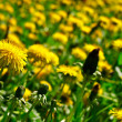 Stock Photo: Meadow of dandelions