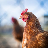 Closeup of a hen in a farmyard (Gallus gallus domesticus) — Stock Photo