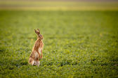 Brown hare (lepus europaeus) — Stock Photo