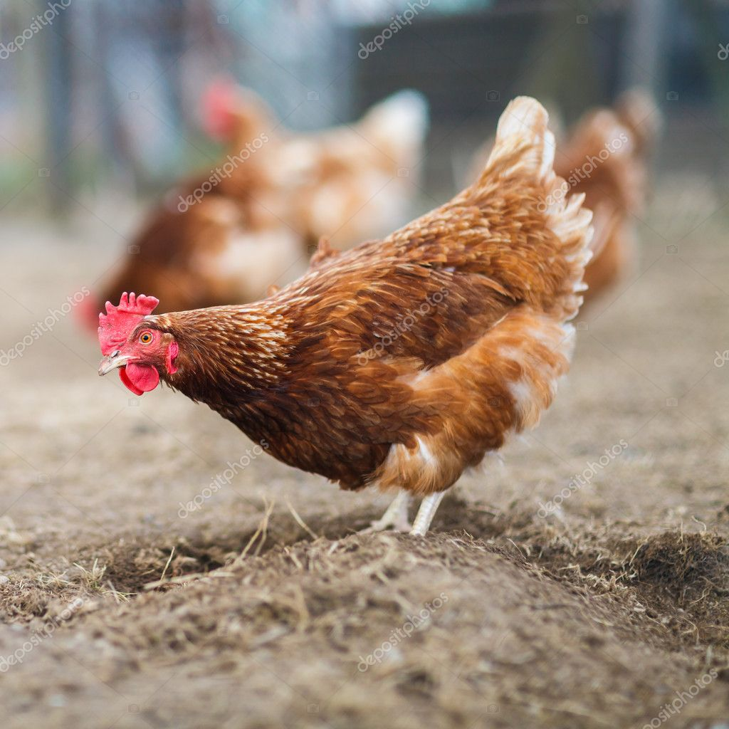 the effects of tetracycline on gallus domesticus In the domestic fowl, gallus domesticus linnaeus and its effects on the structural characteristics of r echinobothrida, the most important cestode of poultry.