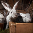 Young rabbits popping out of a hutch — Stock Photo