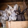 Young rabbits popping out of a hutch — Stock Photo #7998556