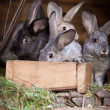 Young rabbits popping out of a hutch - Stok fotoğraf