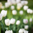 Stock Photo: Beautiful blossoming tulip flowers