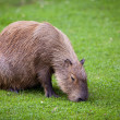 Capybara  grazing on fresh green grass - Stock Photo
