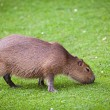 Capybara  grazing on fresh green grass — Stock Photo