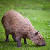 Capybara grazing on fresh green grass — Stock Photo