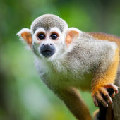 Close-up of a Common Squirrel Monkey — Stock Photo