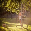 Stock Photo: Young woman up on a ladder picking apples from an apple tree