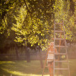 Young woman up on a ladder picking apples from an apple tree — Stock Photo #8520672