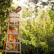 图库照片: Young woman up on a ladder picking apples from an apple tree