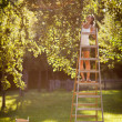 Young woman up on a ladder picking apples from an apple tree — Stock Photo #8520674