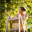 Young woman up on a ladder picking apples from an apple tree - Stock Photo