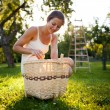 Стоковое фото: Young woman collecting apples in an orchard