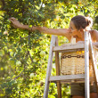 Young woman up on a ladder picking apples from an apple tree - Stockfoto