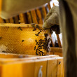 Beekeeper working in an apiary holding a frame of honeycomb - Stock Photo