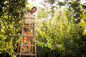 Young woman up on a ladder picking apples from an apple tree — Photo