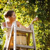 Jonge vrouw omhoog op een ladder plukken appels uit een appelboom — Stockfoto