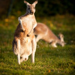 KANGAROO — Photo