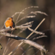 European Robin perched on a branch — Stock Photo